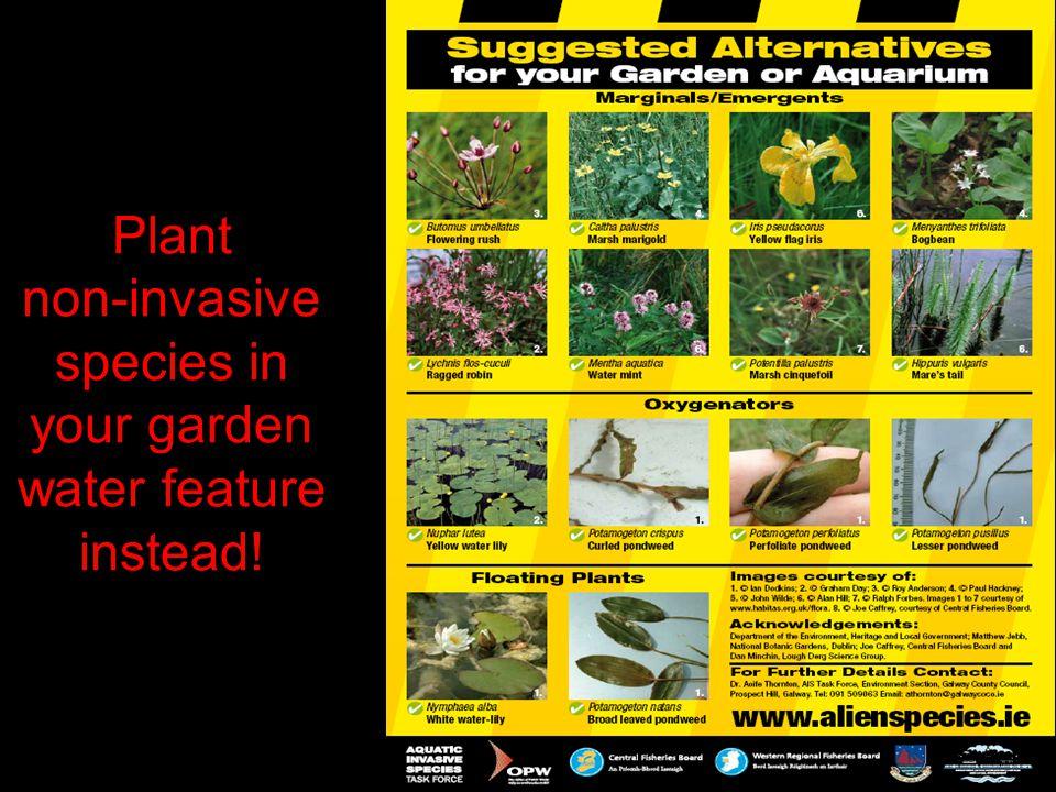 Plant non-invasive species in your garden water feature instead!