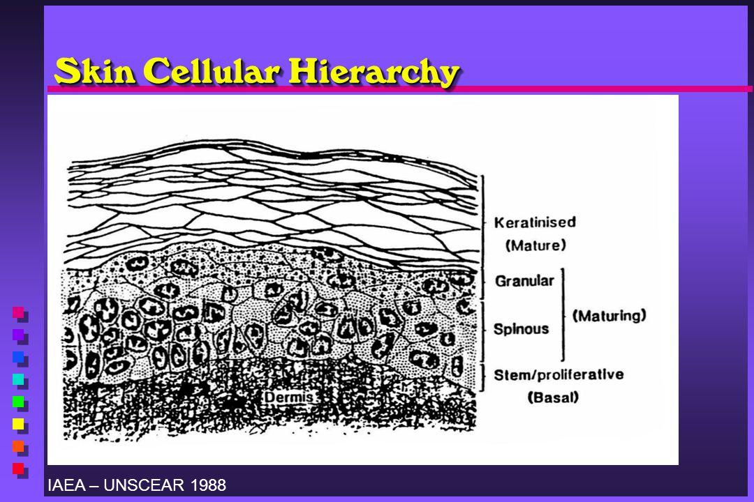 Skin Cellular Hierarchy IAEA – UNSCEAR 1988