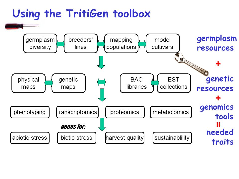 germplasm diversity breeders lines mapping populations model cultivars physical maps genetic maps BAC libraries EST collections phenotypingtranscriptomicsmetabolomicsproteomics genes for: abiotic stressbiotic stressharvest qualitysustainablility Using the TritiGen toolbox germplasm resources genetic resources genomics tools needed traits + + =