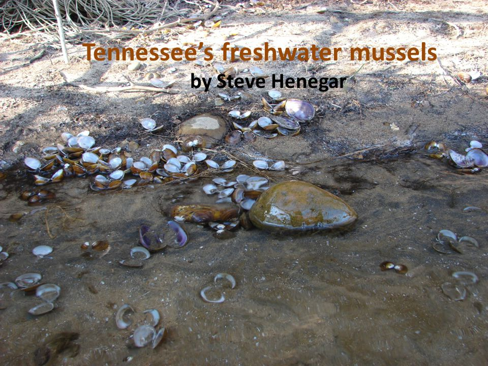 Freshwater mussels in TN rivers, elsewhere need protection, U.S.