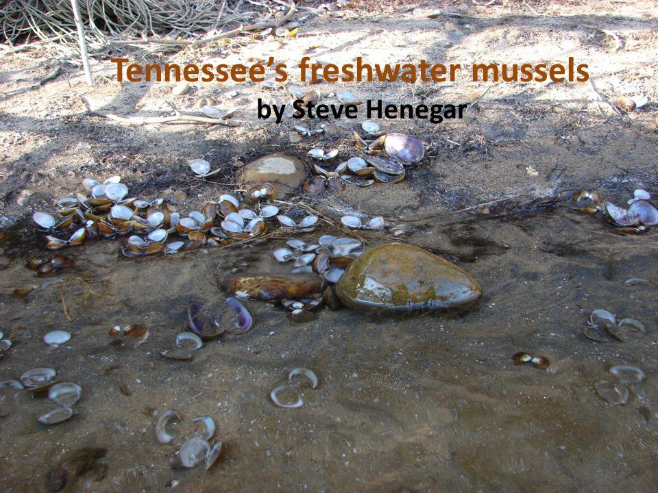 Tennessees freshwater mussels by Steve Henegar
