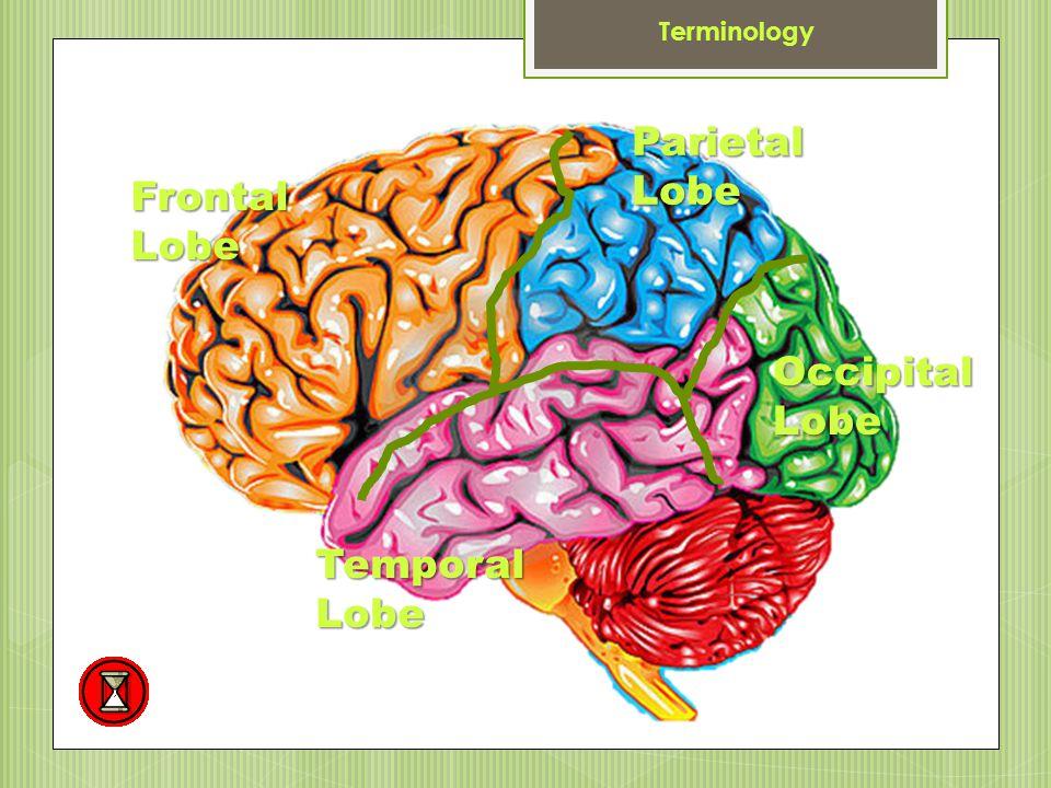 Anterior Terminology Posterior Superior Inferior