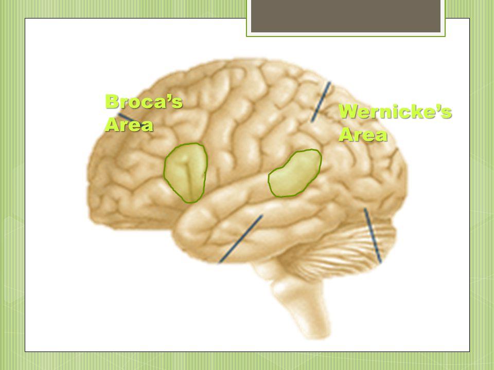 Frontal Lobe Parietal Lobe Temporal Lobe Occipital Lobe Terminology
