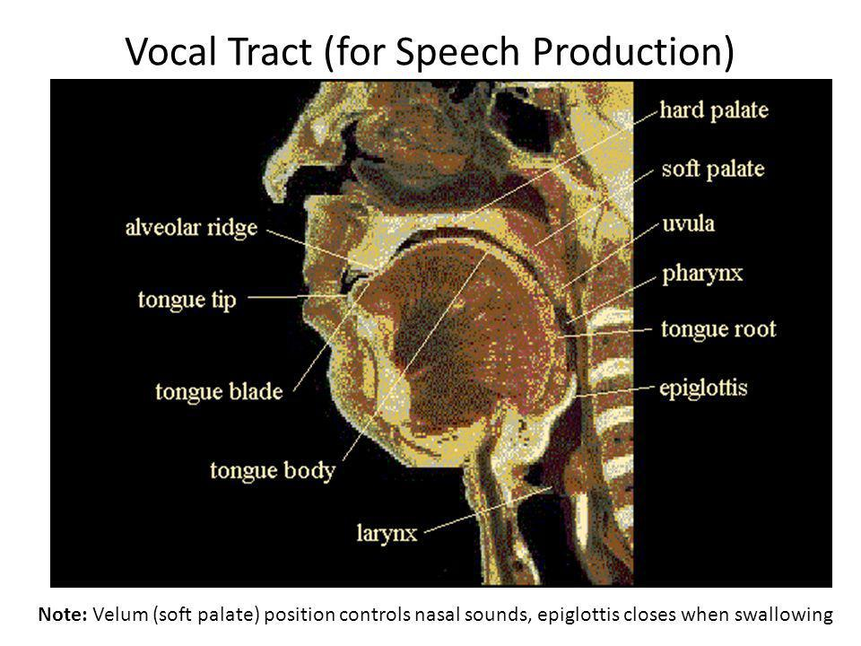 Vocal Tract (for Speech Production) Note: Velum (soft palate) position controls nasal sounds, epiglottis closes when swallowing