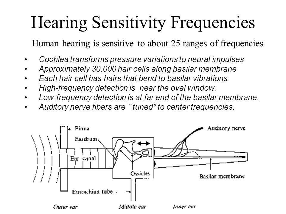 Hearing Sensitivity Frequencies Cochlea transforms pressure variations to neural impulses Approximately 30,000 hair cells along basilar membrane Each