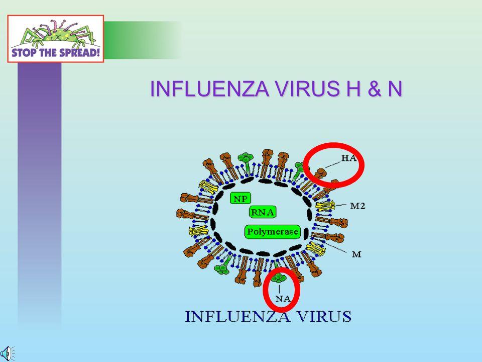INFLUENZA VIRUS H & N