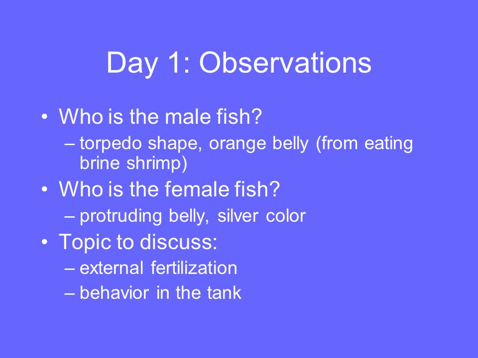 Day 1: Observations Who is the male fish? –torpedo shape, orange belly (from eating brine shrimp) Who is the female fish? –protruding belly, silver co