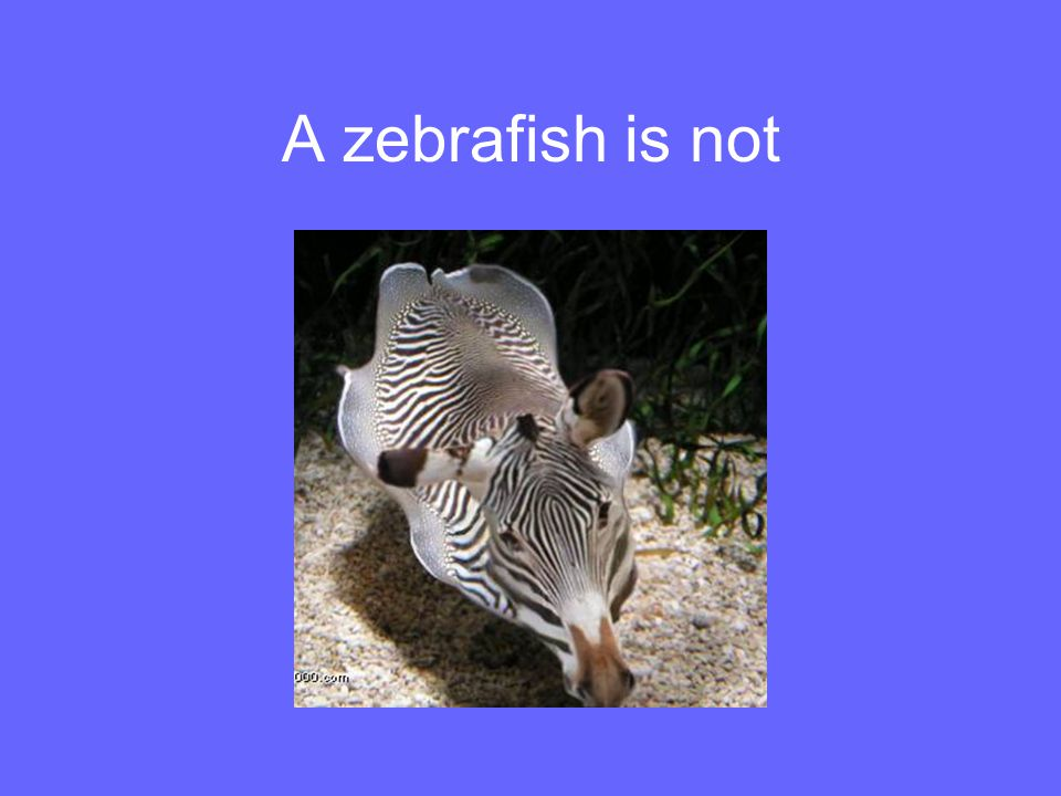 A zebrafish is not