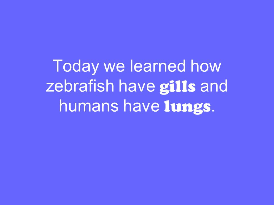 Today we learned how zebrafish have gills and humans have lungs.