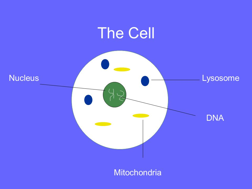 NucleusLysosome DNA Mitochondria The Cell