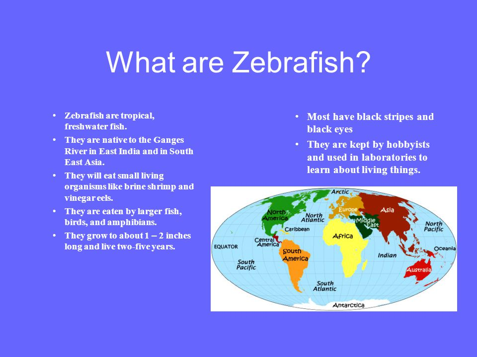 What are Zebrafish? Zebrafish are tropical, freshwater fish. They are native to the Ganges River in East India and in South East Asia. They will eat s
