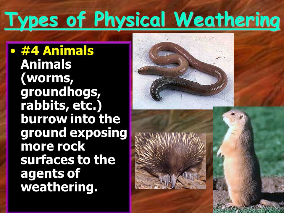 Types of Physical Weathering #4 Animals Animals (worms, groundhogs, rabbits, etc.) burrow into the ground exposing more rock surfaces to the agents of