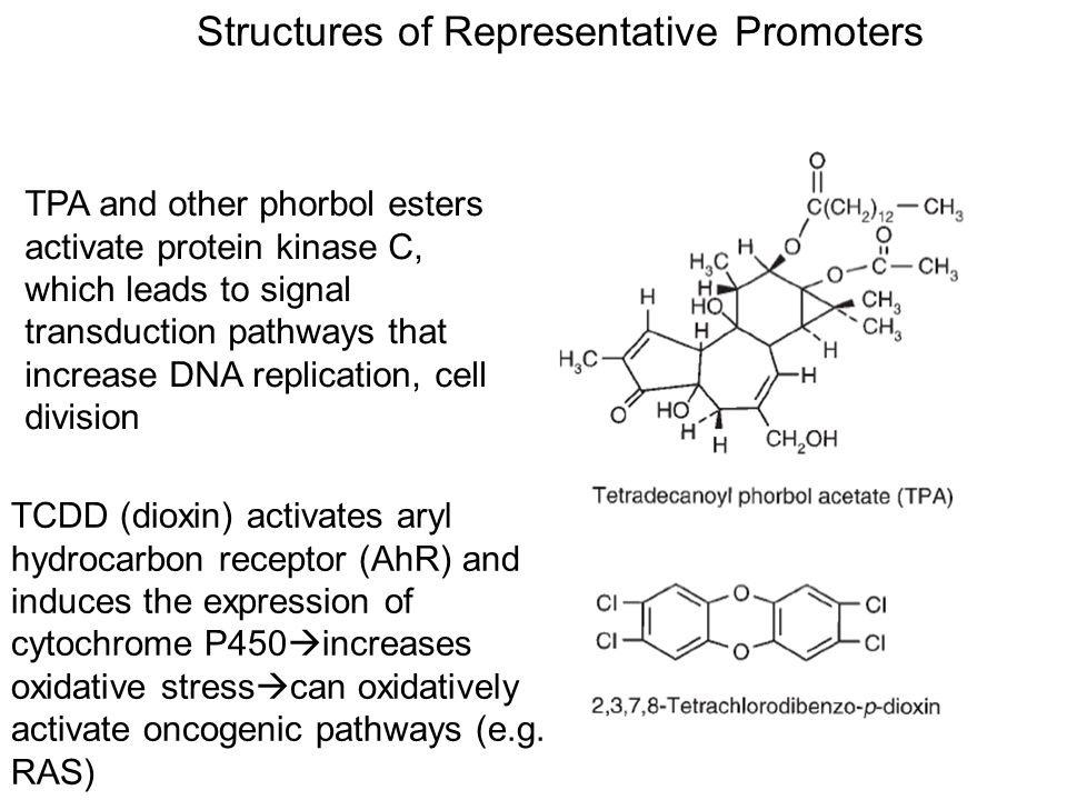 Structures of Representative Promoters TPA and other phorbol esters activate protein kinase C, which leads to signal transduction pathways that increa