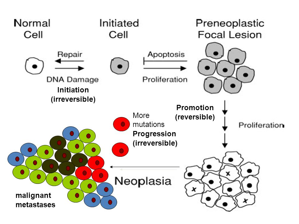 Promotion (reversible) Initiation (irreversible) malignant metastases More mutations Progression (irreversible)