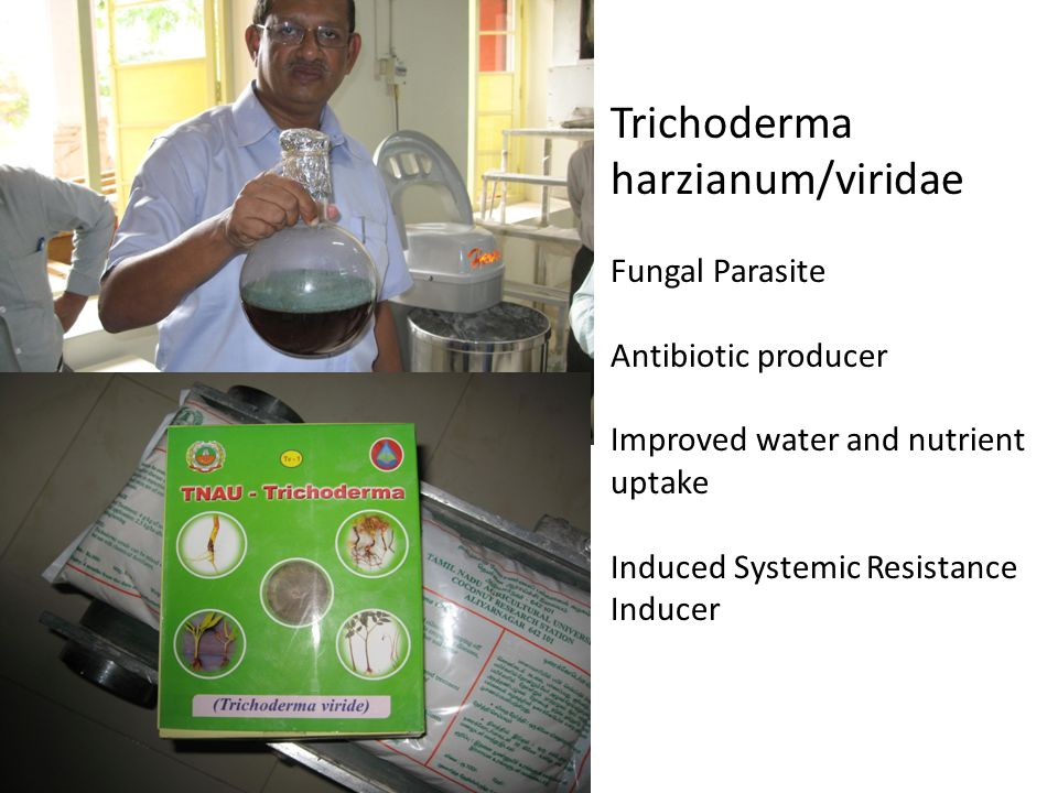 Trichoderma harzianum/viridae Fungal Parasite Antibiotic producer Improved water and nutrient uptake Induced Systemic Resistance Inducer