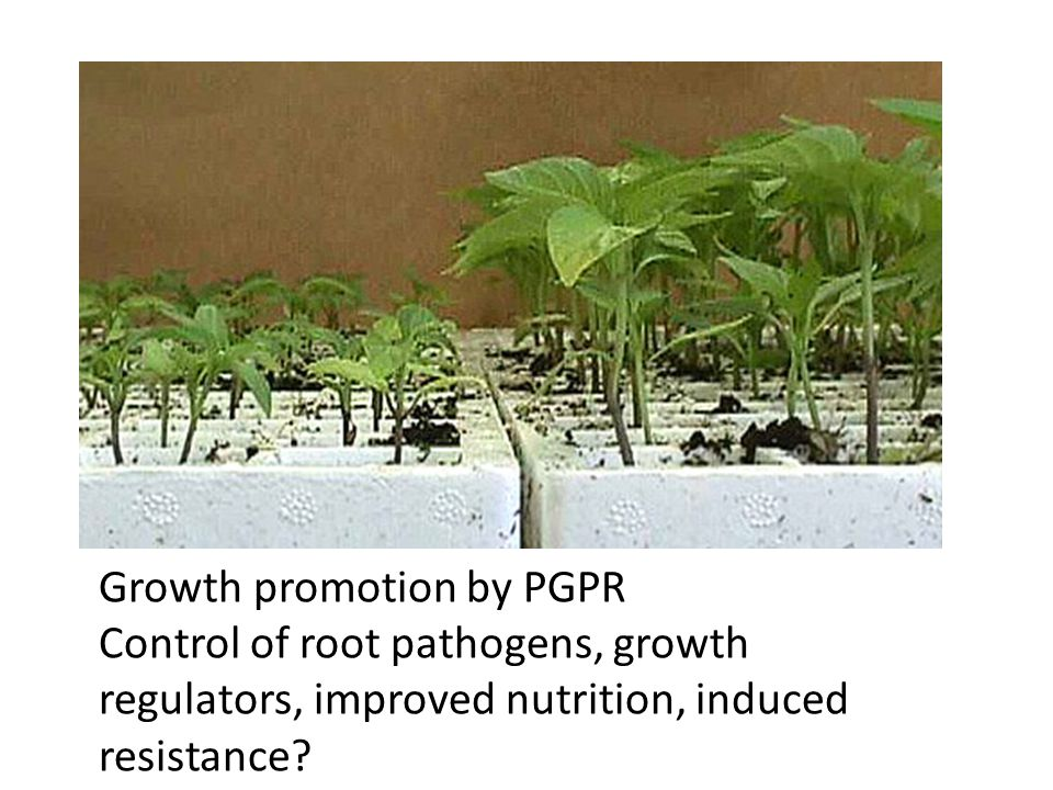 Growth promotion by PGPR Control of root pathogens, growth regulators, improved nutrition, induced resistance?
