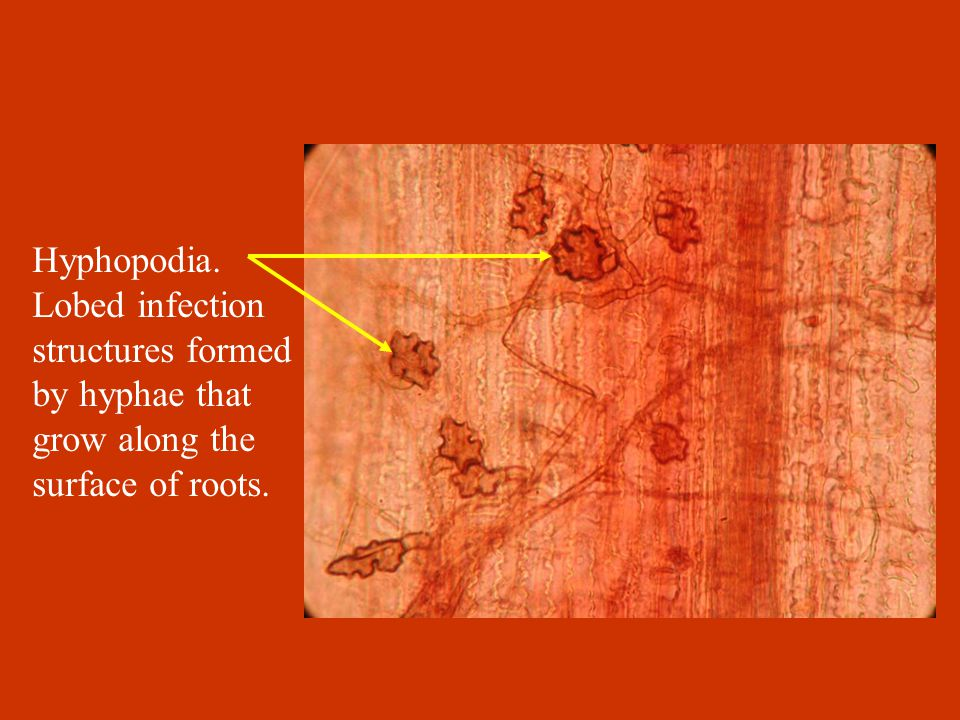 Hyphopodia. Lobed infection structures formed by hyphae that grow along the surface of roots.