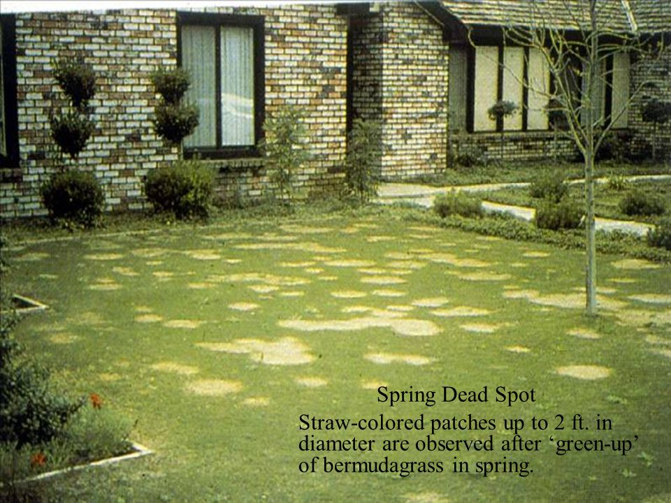 Spring Dead Spot Straw-colored patches up to 2 ft.