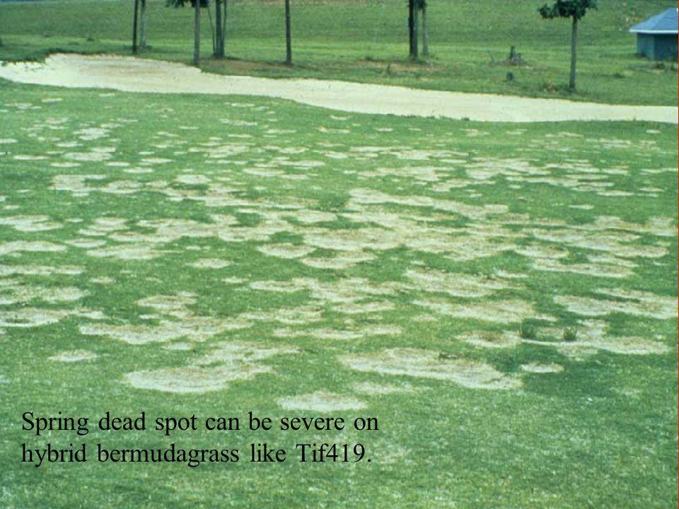 Spring dead spot can be severe on hybrid bermudagrass like Tif419.