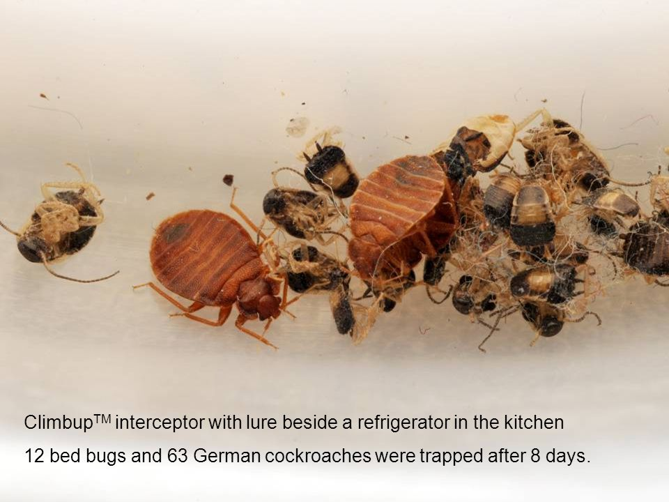 Climbup TM interceptor with lure beside a refrigerator in the kitchen 12 bed bugs and 63 German cockroaches were trapped after 8 days.