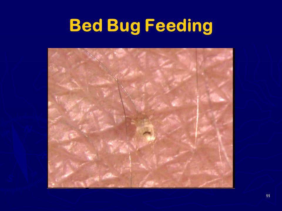 11 Bed Bug Feeding