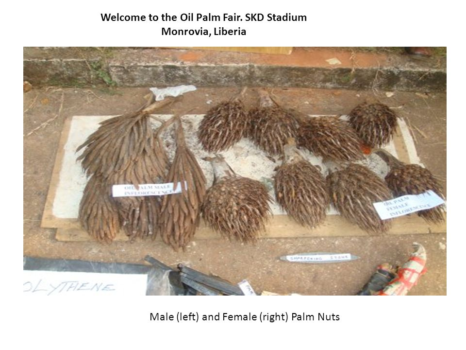 Welcome to the Oil Palm Fair. SKD Stadium Monrovia, Liberia Male (left) and Female (right) Palm Nuts
