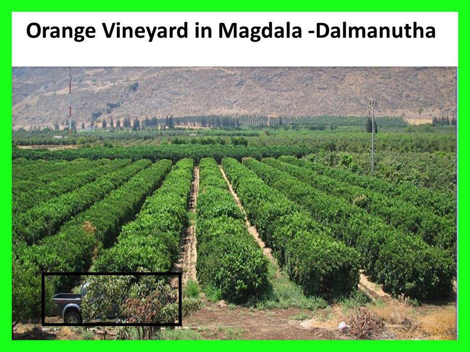 Orange Vineyard in Magdala -Dalmanutha 15