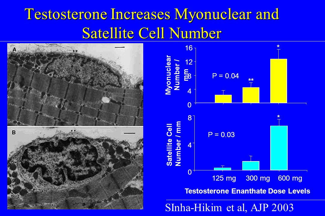 Testosterone Increases Myonuclear and Satellite Cell Number SInha-Hikim et al, AJP 2003