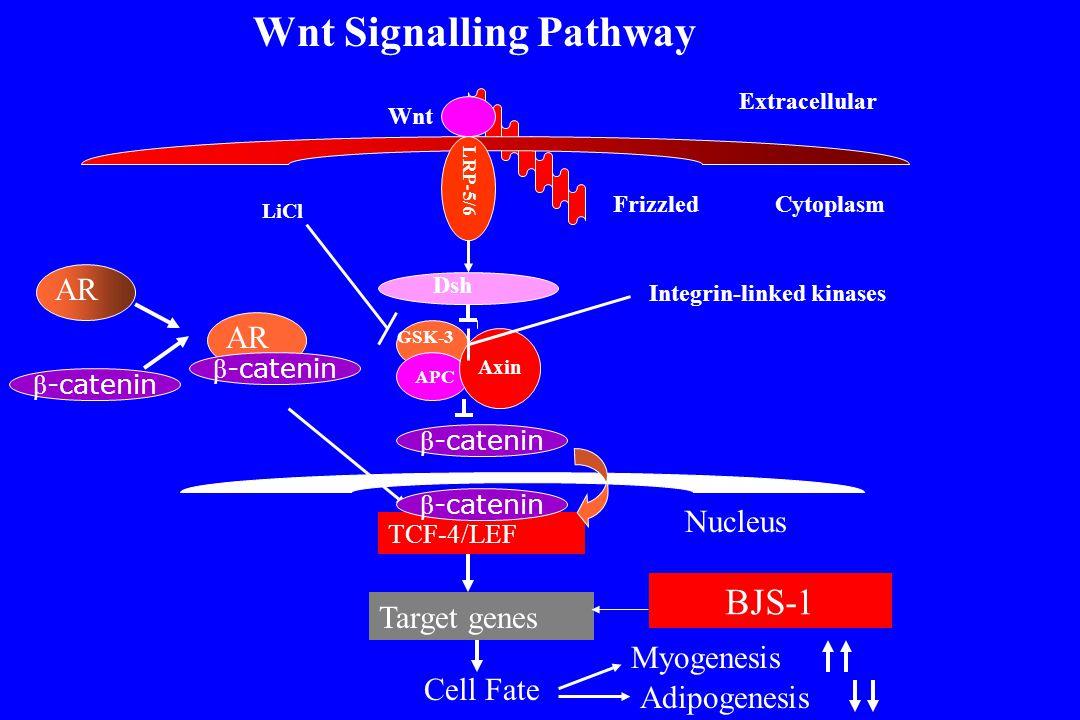 β -catenin Cell Fate Myogenesis Adipogenesis Target genes TCF-4/LEF GSK-3 APC Axin Dsh AR Extracellular Wnt FrizzledCytoplasm LRP-5/6 β -catenin Wnt S