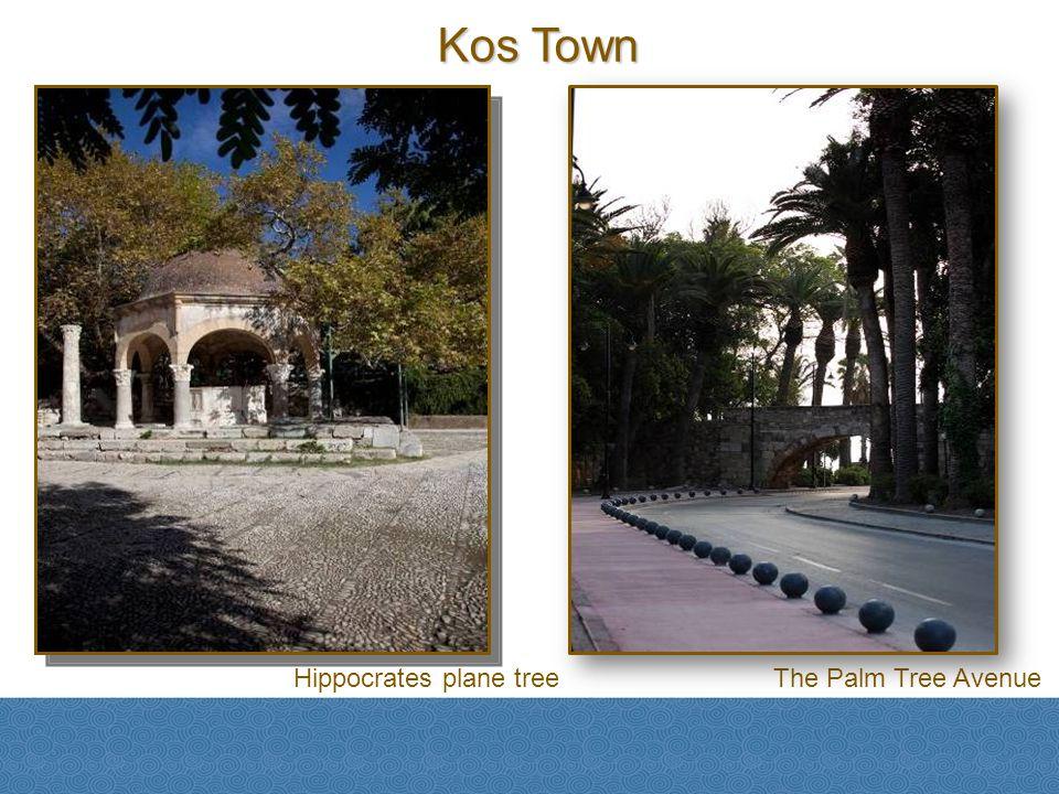 Hippocrates plane treeThe Palm Tree Avenue Kos Town