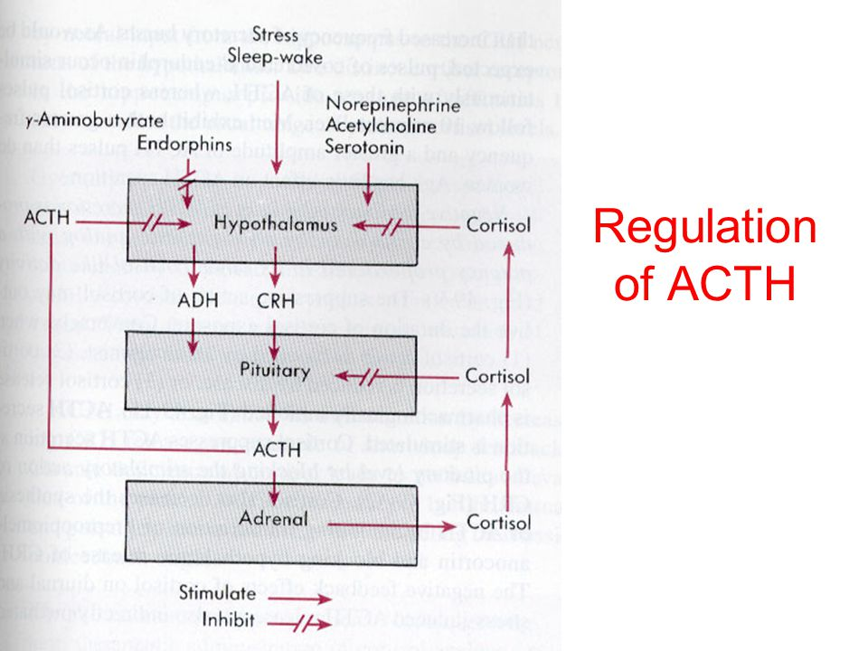 ACTH Circadian pattern of release –Highest levels of cortisol are in early AM following ACTH release –Depends on sleep-wake cycle, jet-lag can result