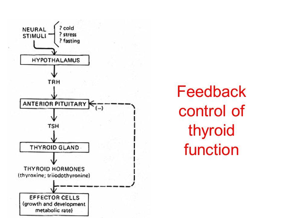 Thyrotrophs Site of TSH synthesis Pattern of secretion is relatively steady TSH secretion stimulated by TRH Feedback control by T3 (thyroid hormone)