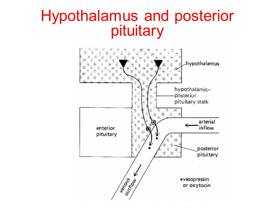 Posterior pituitary hormones: ADH (AVP) and Oxytocin (hypothalamic hormones) Both are synthesized in the cell bodies of hypothalamic neurons ADH: supr