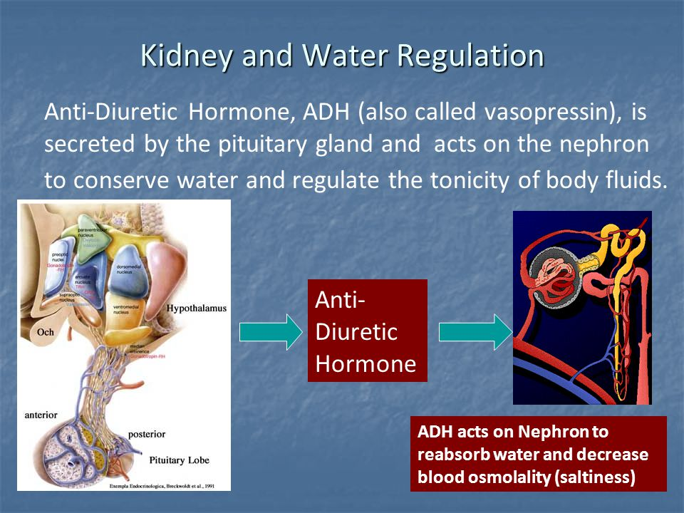 Kidney and Water Regulation Anti-Diuretic Hormone, ADH (also called vasopressin), is secreted by the pituitary gland and acts on the nephron to conser