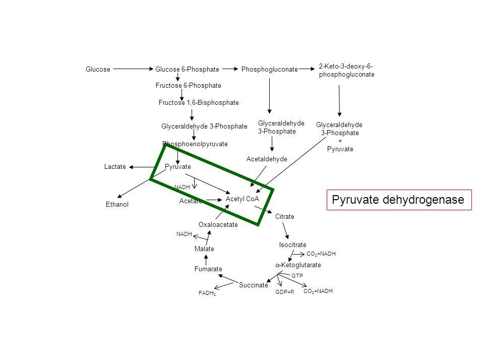 GlucoseGlucose 6-Phosphate Fructose 6-Phosphate Fructose 1,6-Bisphosphate Glyceraldehyde 3-Phosphate Pyruvate Acetate Acetyl CoA Citrate -Ketoglutarate Succinate Fumarate Oxaloacetate Phosphogluconate Glyceraldehyde 3-Phosphate Acetaldehyde 2-Keto-3-deoxy-6- phosphogluconate Glyceraldehyde 3-Phosphate + Pyruvate Lactate Ethanol Malate Isocitrate CO 2 +NADH FADH 2 CO 2 +NADH NADH GTP GDP+P i Phosphoenolpyruvate Pyruvate dehydrogenase