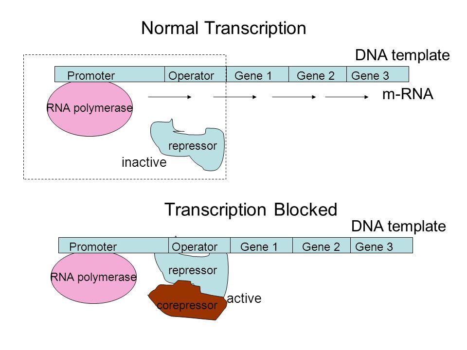 m-RNA RNA polymerase repressor PromoterOperatorGene 1Gene 2Gene 3 Normal Transcription RNA polymerase repressor PromoterOperatorGene 1Gene 2Gene 3 corepressor Transcription Blocked DNA template inactive active DNA template
