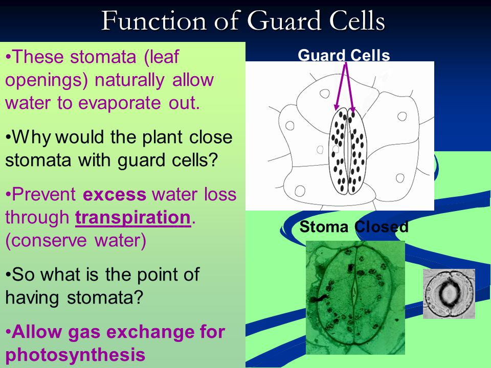 Stoma Open Stoma Closed Guard Cells Stoma Function of Stomata Guard Cells CO 2 O2O2 H2OH2O What goes in? What goes out? What process involves using CO