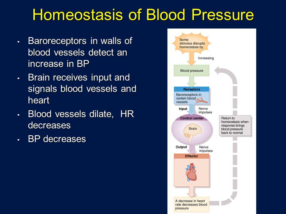 Homeostasis of Blood Pressure Baroreceptors in walls of blood vessels detect an increase in BP Baroreceptors in walls of blood vessels detect an incre