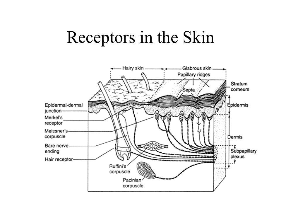 Receptors in the Skin