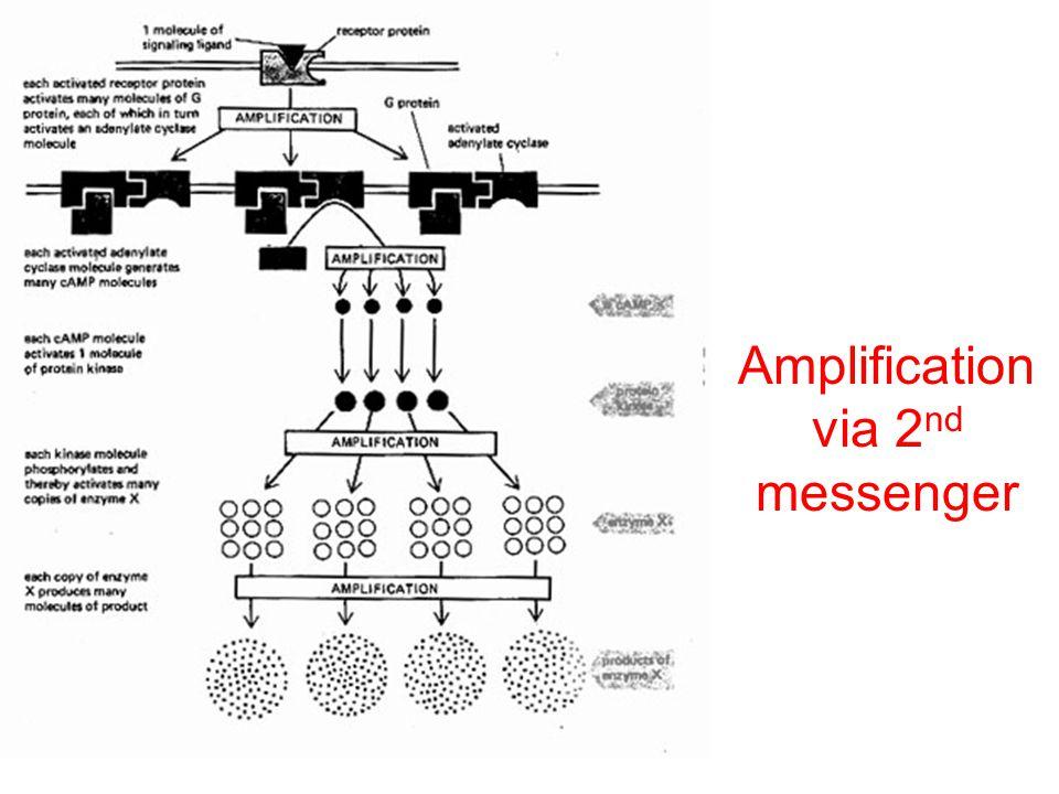 Amplification via 2 nd messenger