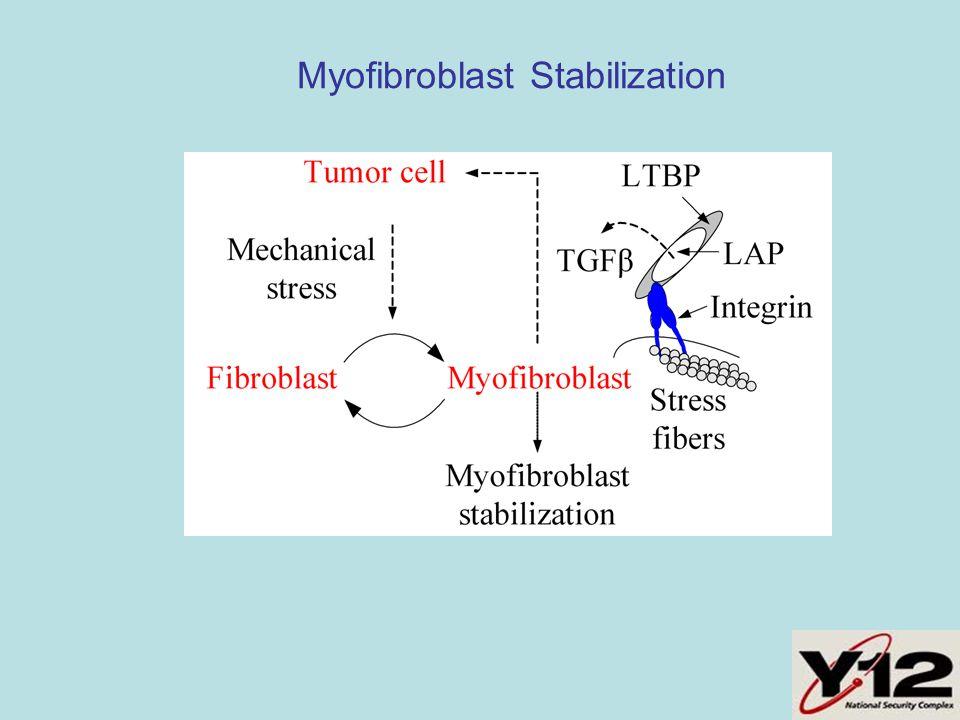 Myofibroblast Stabilization