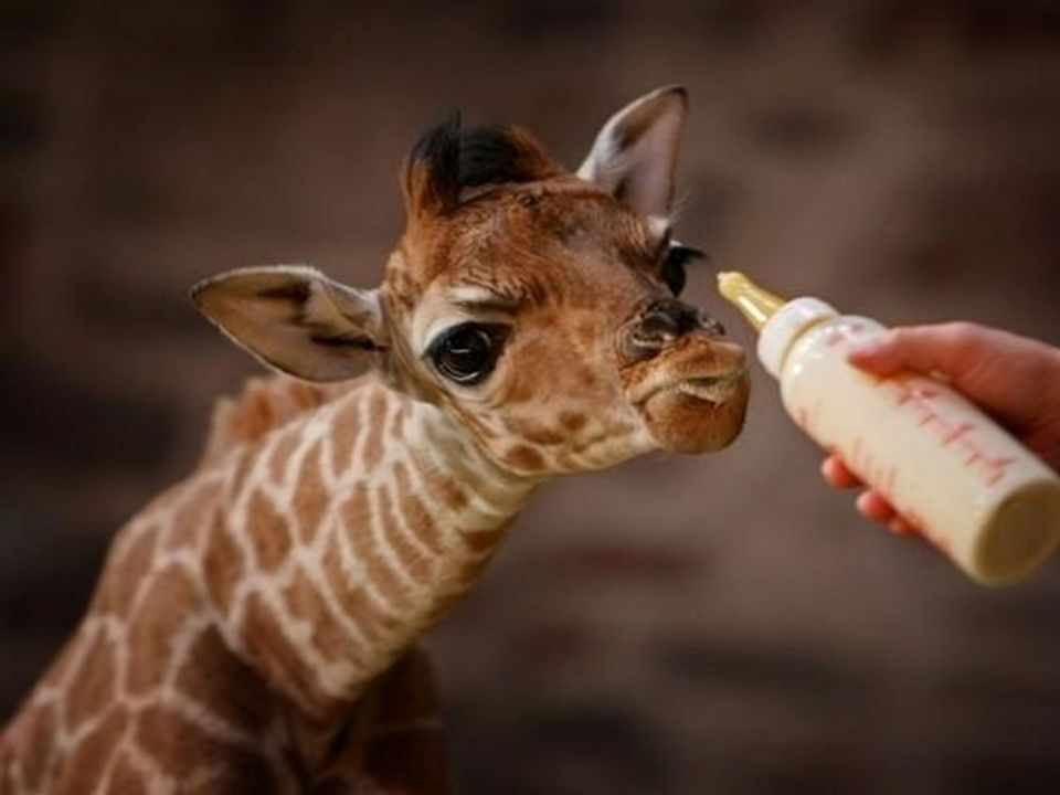 I think this is a giraffe.What do you think. No, its neck is too short for it to be a giraffe.