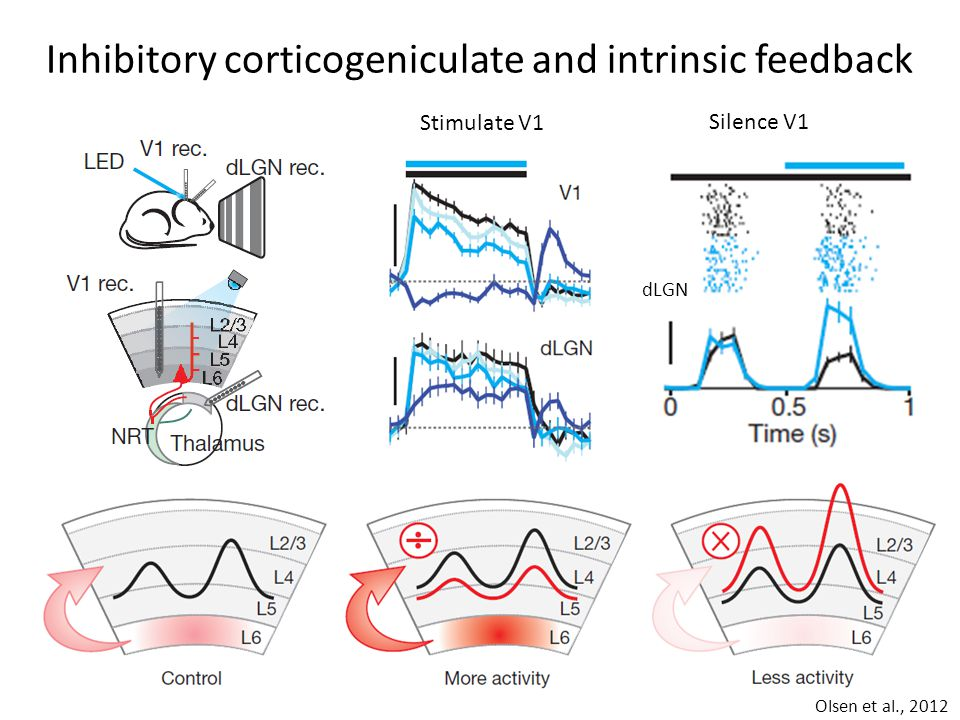 Olsen et al., 2012 Inhibitory corticogeniculate and intrinsic feedback Stimulate V1 Silence V1 dLGN