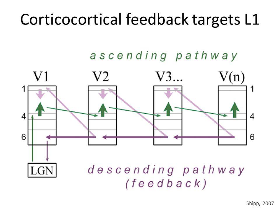 Corticocortical feedback targets L1 Shipp, 2007