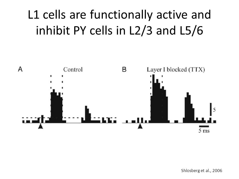 L1 cells are functionally active and inhibit PY cells in L2/3 and L5/6 Shlosberg et al., 2006