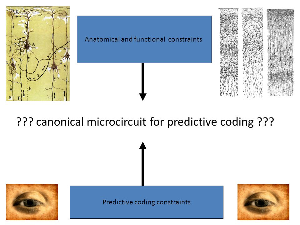 Anatomical and functional constraints Predictive coding constraints .
