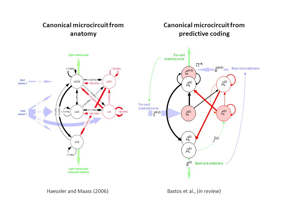 Haeusler and Maass (2006) Canonical microcircuit from predictive coding Backward predictions Forward prediction error Backward predictions Forward prediction error Bastos et al., (in review) Canonical microcircuit from anatomy