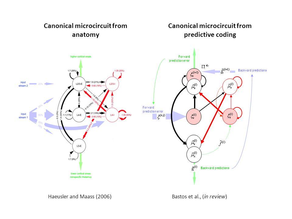 Haeusler and Maass (2006) Canonical microcircuit from predictive coding Backward predictions Forward prediction error Backward predictions Forward pre