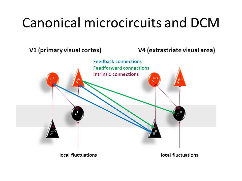 Canonical microcircuits and DCM Feedback connections Feedforward connections Intrinsic connections V1 (primary visual cortex) local fluctuations V4 (e