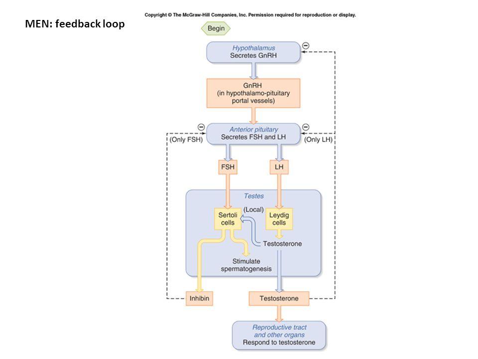 MEN: feedback loop